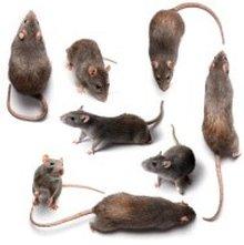 Ratten helfen Ratten